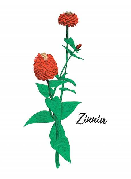 Zinnia Flower Drawing Colorful Line Art Illustration Premium Vector