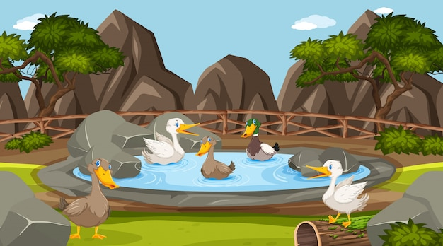 Zoo scene with many ducks in the pond Premium Vector