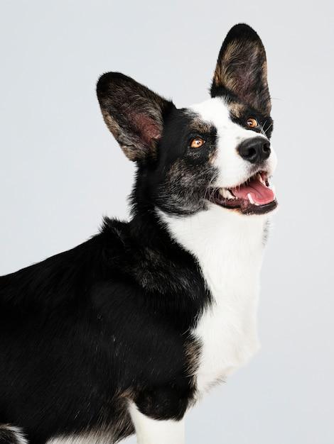 Glücklicher cardigan-welsh corgihund Kostenlosen PSD