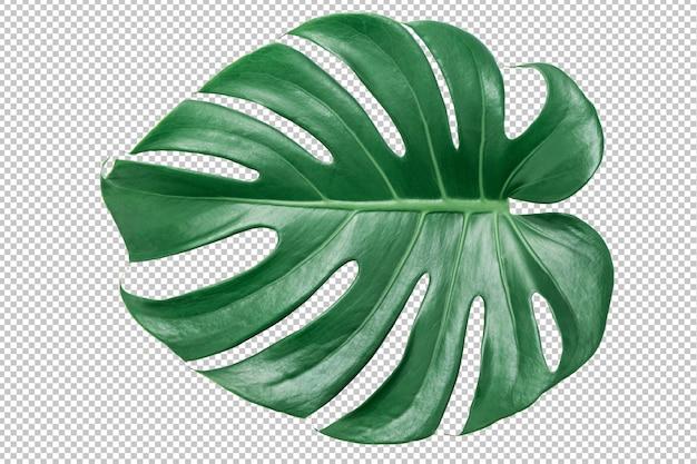Grünes monstera blatt auf getrenntem weiß. tropische blätter Premium PSD