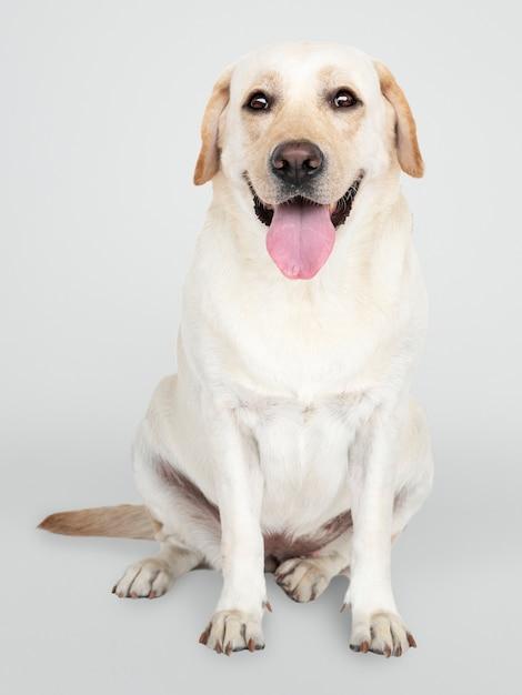 Porträt eines labrador retriever-hundes Kostenlosen PSD