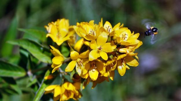 Abeille bourdonnante qui vole et pollinise de petites fleurs jaune vif de bok choy Photo Premium