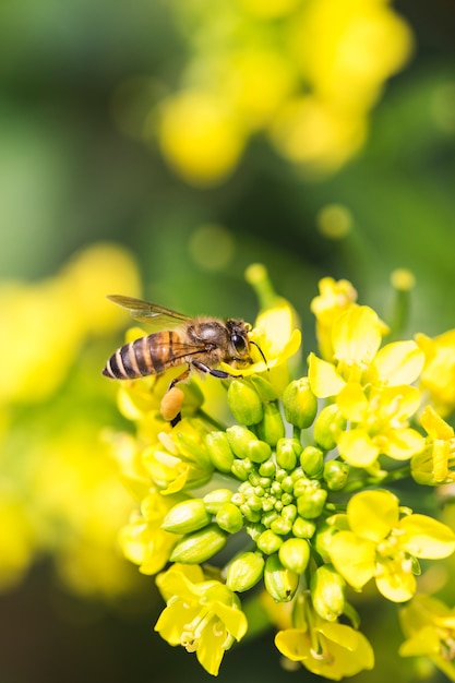 Abeille à miel collectant du pollen sur une fleur de canola Photo Premium