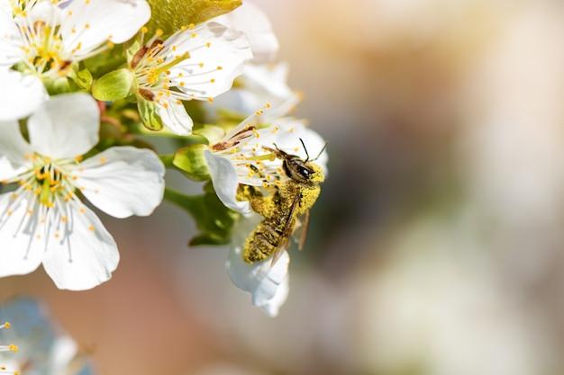 Abeille à Miel Recueillant Le Pollen D'un Pêcher En Fleurs. Photo gratuit