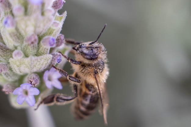 L'abeille Pollinise La Fleur Jaune Dans La Prairie De Printemps. Scène Naturelle Saisonnière. Filtre Photo De Beauté. Photo Premium