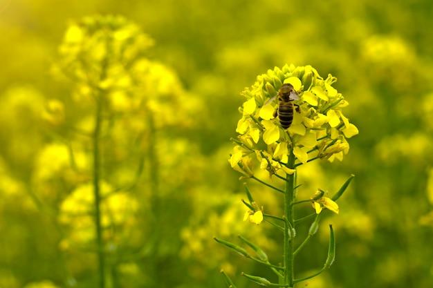 L'abeille recueille le nectar sur les fleurs de moutarde dans le champ Photo Premium