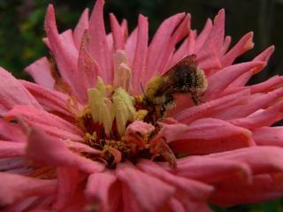 Abeille, Rose Photo gratuit