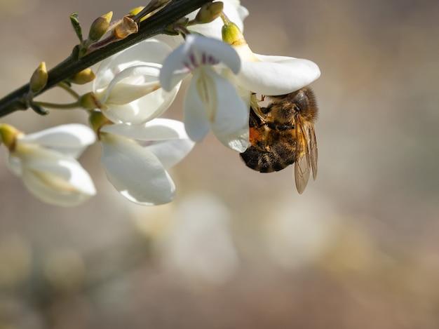 Abeille Suçant Le Nectar D'une Fleur. Photo Premium