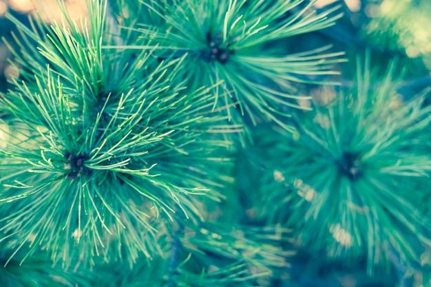 Abstrait avec de longues aiguilles de cèdre vert Photo Premium