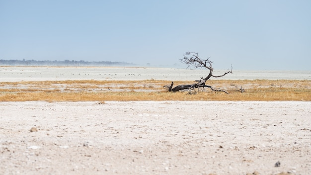 Acacia tressé dans un paysage désertique du parc national d'etosha, destination de voyage en namibie Photo Premium