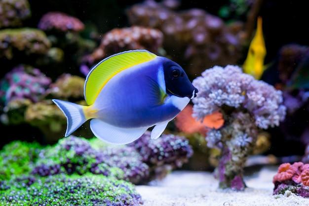 Acanthurus leucosternon dans l'aquarium de récifs coralliens de home. mise au point sélective. Photo Premium