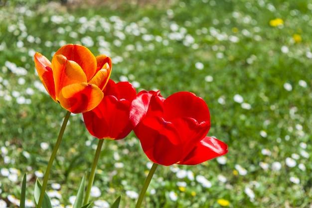 Admirables Tulipes Colorées Dans Le Champ De Fleurs Photo gratuit