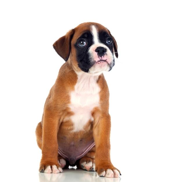 Adorable boxer chiot assis Photo Premium