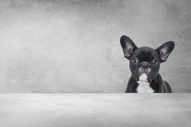 Adorable bulldog français, portrait d'un chiot mignon derrière fond de ciment. Photo Premium