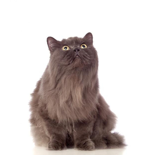 Adorable chat persan levant isolé sur fond blanc Photo Premium
