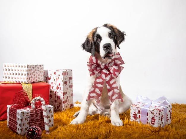 Adorable Chiot St Bernard Assis Regardant La Caméra Avec Un Arc De Noël Entouré De Coffrets Cadeaux Emballés Dans Du Papier. Photo Premium