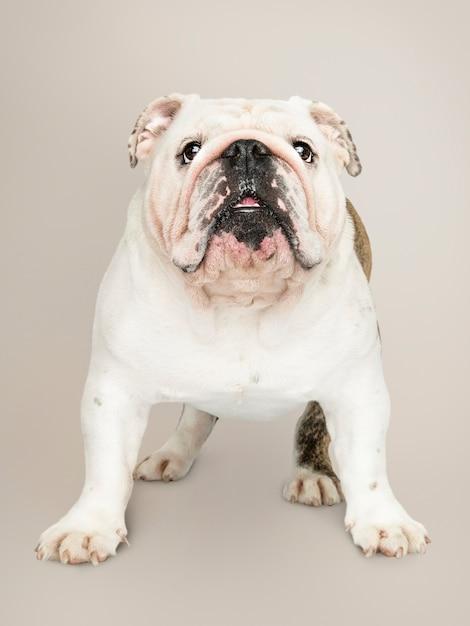 Adorable portrait de chiot bouledogue blanc Photo gratuit