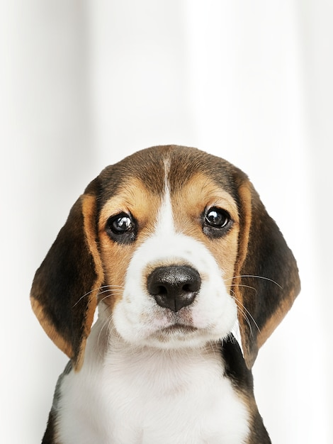 Adorable portrait solo de chiot beagle Photo gratuit