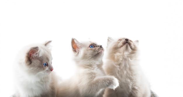 Adorables chats sur fond blanc isolé Photo Premium