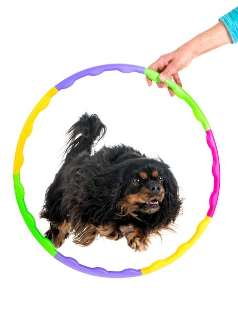 Agilité et petit chien Photo Premium