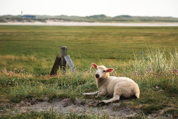 Agneau Assis Sur L'herbe Sur La Réserve Naturelle De L'île Sylt Photo Premium