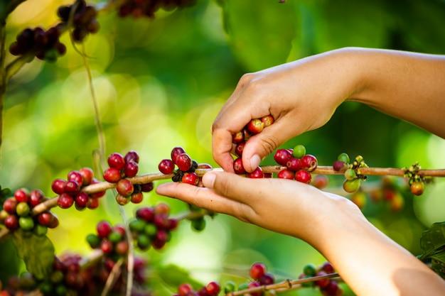 Agriculteur collecte des grains de café sur les terres agricoles de chiang rai en thaïlande Photo Premium