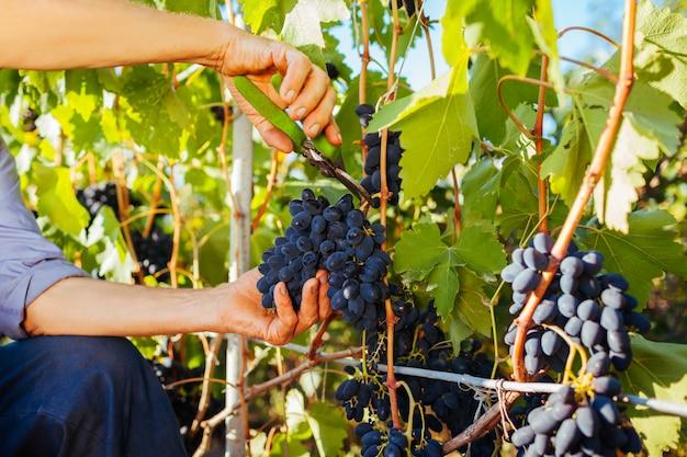 Agriculteur cueillette de raisins dans une ferme écologique. Photo Premium