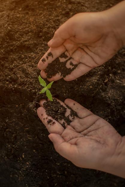 Agriculteur donnant un engrais chimique à la main de jeunes plants de cannabis Photo Premium