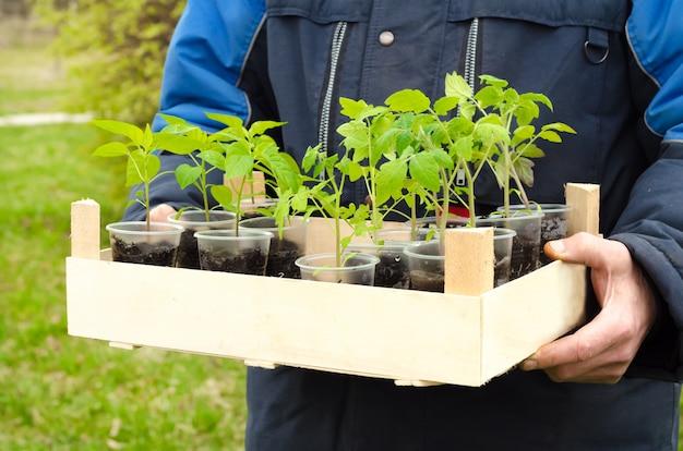 Agriculteur Homme Tenant Une Boîte En Bois Dans Ses Mains Avec Copie Espace Avec Des Semis De Poivre Et De Tomate Photo Premium