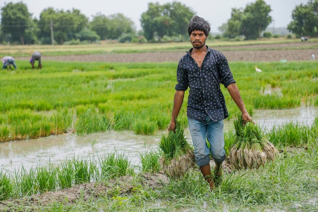 Agriculteur indien travaillant dans un champ de riz Photo Premium