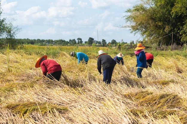 Agriculteur Récoltant Pendant La Saison Des Récoltes. Agriculteur Coupant Du Riz Dans Les Champs, Thaïlande. Photo Premium