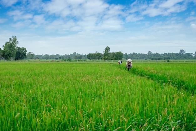 Agriculteur thaïlandais aux herbicides ou aux engrais chimiques équipement sur les champs en culture de riz vert Photo Premium