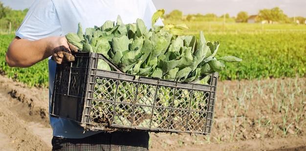 Un agriculteur transporte des plants de chou frais dans une boîte. Photo Premium