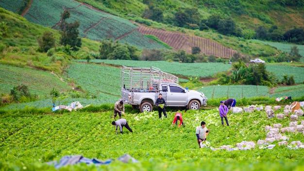 Agriculteur travaille dans le champ de chou sur la montagne phu thap boek Photo Premium