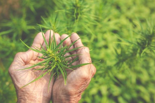 Les agriculteurs détiennent des arbres de marijuana (cannabis) dans leurs fermes. Photo gratuit