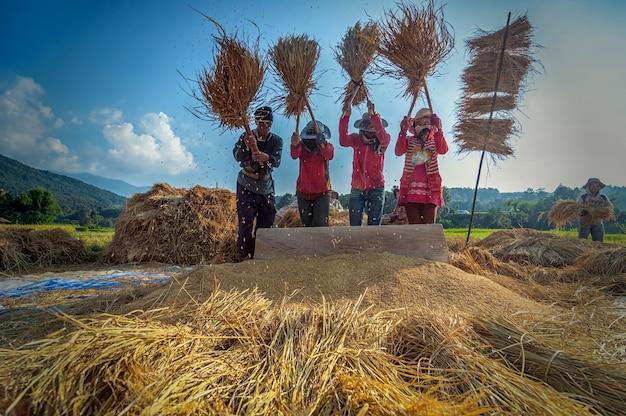 Les agriculteurs non identifiés se réunissent et coopèrent pour faire du riz traditionnel Photo Premium