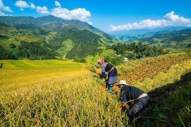 Les agriculteurs vietnamiens récoltent à sapa au vietnam. Photo Premium