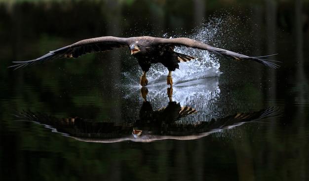 Aigle à queue blanche volant au-dessus de l'eau Photo Premium
