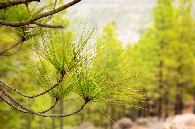 Aiguilles de feuilles de pin carary en grande canarie Photo Premium