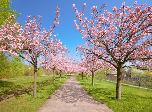 Allée de cerisiers en fleurs appelée Photo Premium