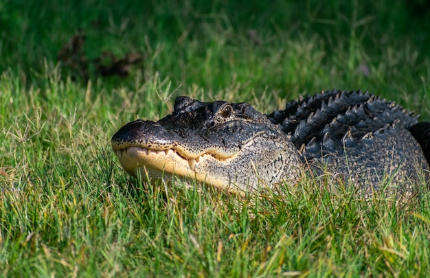 Alligator Américain Noir Rampant Sur L'herbe Sous La Lumière Du Soleil Avec Un Arrière-plan Flou Photo gratuit