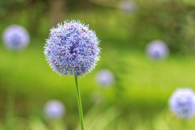 Allium caeruleum Photo Premium