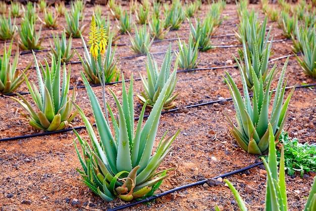 Aloe vera field in canary islands espagne Photo Premium
