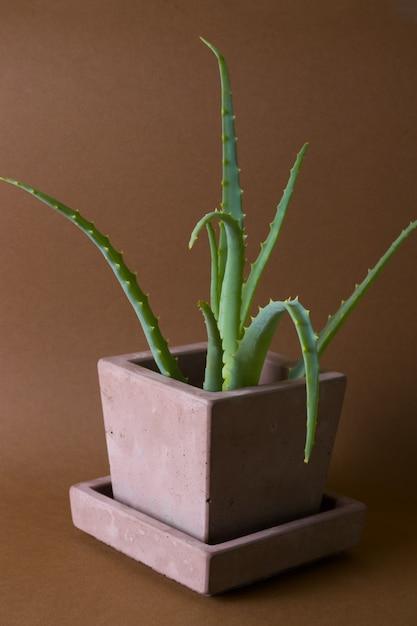 Aloe vera plante en pot dans un pot en béton peint sur fond marron Photo Premium