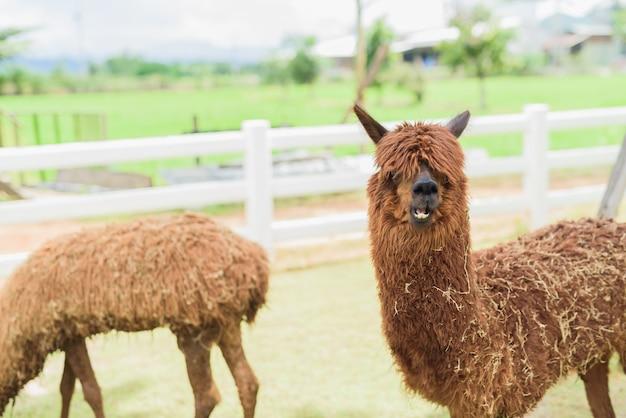 Alpaga au zoo Photo Premium