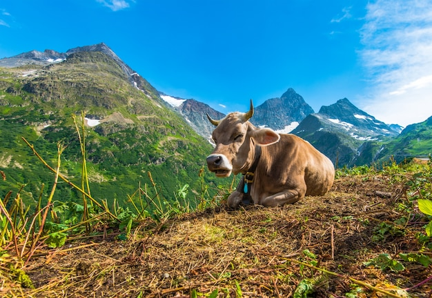 Alpine region cow Photo gratuit