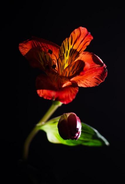 Alstroemeria lumineux fleur sur fond noir. Photo Premium