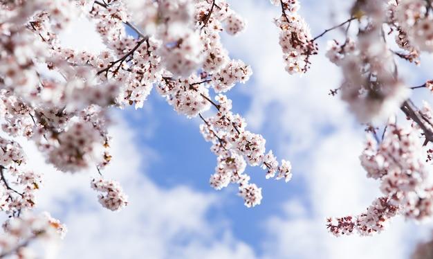 Amandier branches en détail de fleurs avec fond de ciel Photo Premium