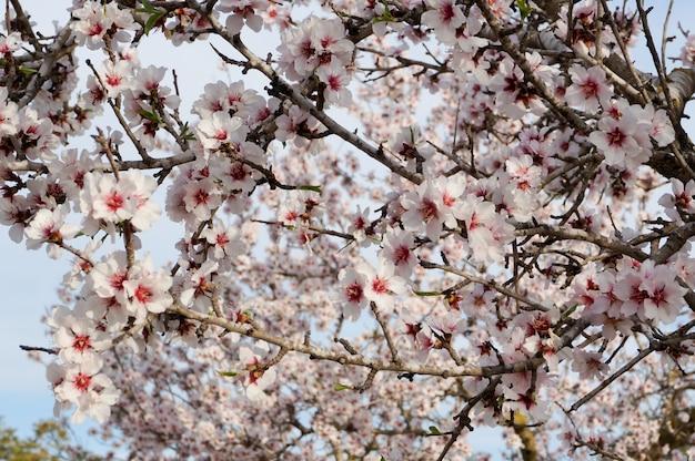 Amandier en fleur se bouchent Photo Premium