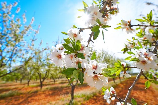 Amandiers fleurissent en méditerranée Photo Premium